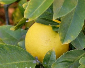 Citrus season is just beginning. I have a few ripe Meyer and Eureka lemons, with more coming along.