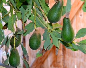 I picked the first of our avocados today. It will take about 10 days after they are picked before they will be ripe.