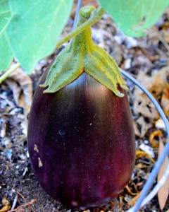 Summer lingers. I still have eggplants in the garden.
