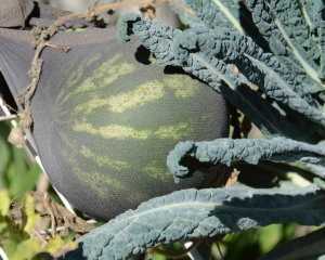 Holy cow, there is still a watermelon in my garden. I'd better eat it pretty darn quick.