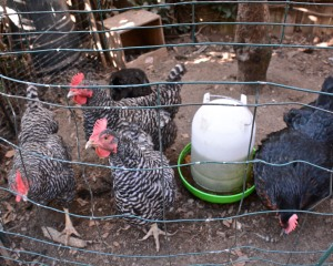 My mini-farm boasts a mighty flock of five laying hens.