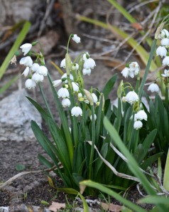 These Snowdrops are blooming a couple of weeks early.