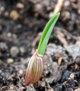 The garlic has sprouted. I have about 17 Sonoran garlics, about 18 Early Italian, and about 14 California Early garlics sprouted. My favorites, the Ajo Rojo, haven't sprouted yet. Will they? Don't know.