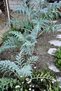 These artichoke plants are doing nicely and should make some artichokes in a couple of months.