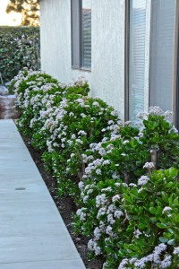 Our border of jade plants is in full bloom. Since the neighbors to the south cut down the tall cypress trees, the jades are getting more summer sun. This is their best bloom ever.
