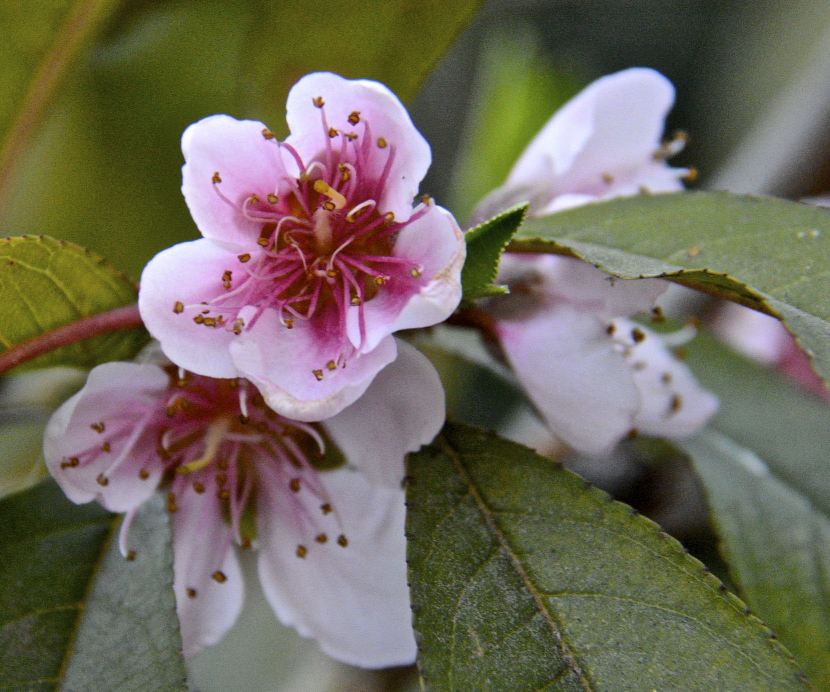 January 2014–heat and drought are wilting my southern ... Peach Tree Flowers