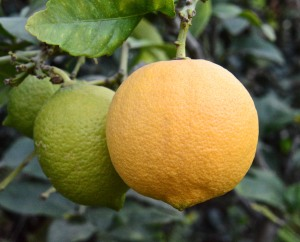 I have a couple of Eureka lemons ready to pick and a few more ripening. I have a bumper crops of Meyer lemons and need to do something with them SOON.