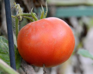 But thanks to Global Weirding, I have a tomato that is ripe. In mid-January! This is a first for my garden, a winter so mild that tomatoes set fruit and ripened.