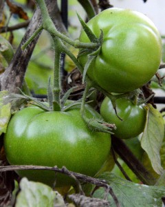 I have a few more tomatoes coming along. I just can't believe it. This is SO early.