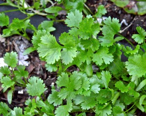 I have a LOT of cilantro that seeded itself in my raised bed. Why can't it be ready to pick when tomatoes are ripe? But no, it is all gone by summer.