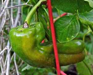 We are still harvesting ripe bell peppers. This heirloom Giant Marconi sweet pepper is about to turn red.