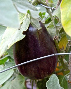 I am still getting Black Beauty eggplants ripening, which is pretty strange for January.