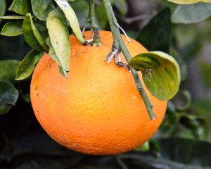 Our navel orange crop is ready to pick, and we have been enjoying fresh oranges since the first of the year.