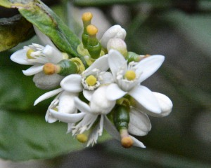 We have a few limes that are ripe, and many more forming. Not all of the flowers in a cluster get fertilized.