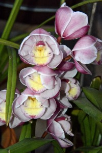 Most of my Cymbidium orchids bloom in February-April, but these bloom in January. They all stay outdoors on the patio.