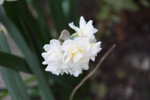 These double paperwhite narcissus are also blooming a couple of weeks early. The single paperwhites started blooming in November, and have already finished blooming. Crazy.