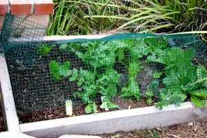 I made a cage of hardware cloth to fit over this bed of mesclun, lettuce and Napa cabbage, but I built it too late to save the lettuce.
