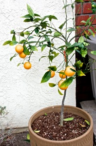 This little Valencia orange is doing fine in a pot in front. I looks like we will get some fruit from it this year. The navel orange, lime, Meyer lemon and Eureka lemon trees are doing fine with fruit ready to harvest.