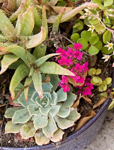 It looks like a Kalanchoe (sp?) is blooming in this pot of succulents.