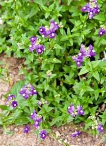 Nemesia (sun drops) bloom all year long in our yard, as does Allysum.
