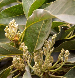 These are the flower bud clusters for next year's avocado crop. Let's hope I get some fertilization. Come on, bees!