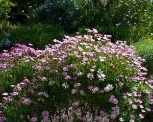 Pink cobbity daisies in the foreground, fortnight lilies and gazania in the background, bloom like crazy with very little water.