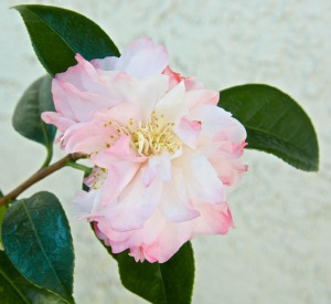 Camellias are in the shade all day, so there isn't much evaporation in their planting area.