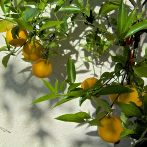 This is our entire Valencia orange crop. These oranges are on a dwarf tree in a large pot, and are ready to pick.