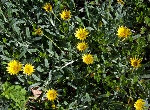 Gazanias make a great ground cover. They require very little water and bloom almost all year long.