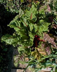 This may not look like much, but it is the chard that swallowed Los Angeles. It is HUGE. We had six monster leaves for dinner and I hardly made a dent in what is ready to harvest.