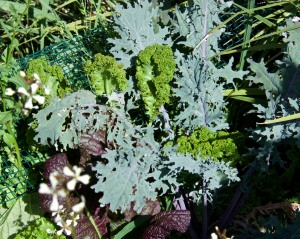 Here are some kale and mustard plants that are going into a stir fry soon.