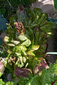 Eek, the Freckles Romaine lettuce is starting to bolt. I must do something with it. Like eat it!