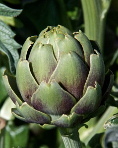 Uh, oh. Only one artichoke is ready. I need to pick them in pairs so my husband can have one too. Guess who is going to get this one. :-)