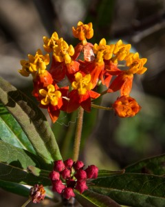 I have bloodflower milkweed growing here and there in the yard. It makes lovely flowers, and the Monarch butterflies love it. We have raised many butterflies in our organic garden.