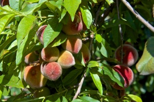 Whoopee, look at all of the peaches on the Florida Prince peach tree. They are small, but there are a lot of them. I hope I can beat the birds to most of them.