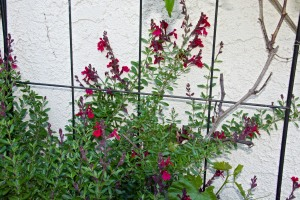 I think this is Autumn Sage. I have three of them, part of my hummingbird and butterfly garden.