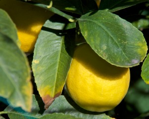 This is our lemon producer, a Meyer lemon planted in the ground. I can't count the huge number of lemons on it.
