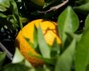 We are down to our last few Navel oranges. There were about 50 on the tree at the start of the season. We have eaten most of them already.