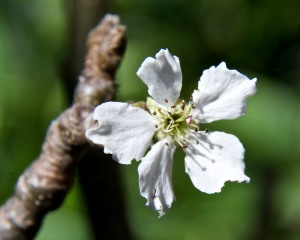 We have two varieties of Asian pear trees in back. Here is a flower on one that hasn't produced any fruit yet. Maybe this will be the year? My fingers are crossed.