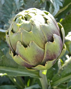 Here is an artichoke that we haven't eaten yet. It is still growing.