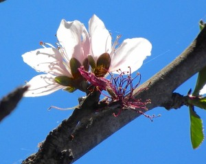 The Panamint Nectarine tree has nearly finished blooming. I pruned it last fall, so there aren't as many blossoms on it as usual. The Snow Queen Nectarine hasn't bloomed yet.