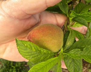 My FloridaPrince peach tree is loaded with peaches. It will be a few more weeks before they are ripe.