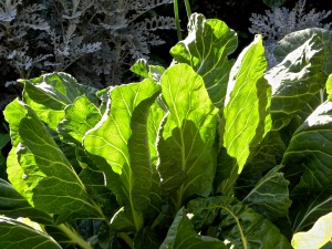 Collard Greens ready to harvest