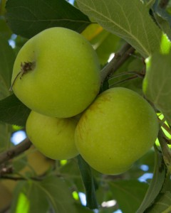 We might get some apples if the squirrels and possums don't get them first. These are Gala apples.