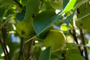 We are getting a nice harvest of Asian pears this summer. They are hard and crisp like an apple, not soft like European pears such as Bosc and Bartlett.