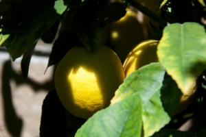 Lemons are providing a steady harvest, but our navel orange tree set only ONE orange for our winter crop. Dang drought!
