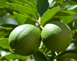 There was a hiatus in limes, but the next crop is about ready to harvest.
