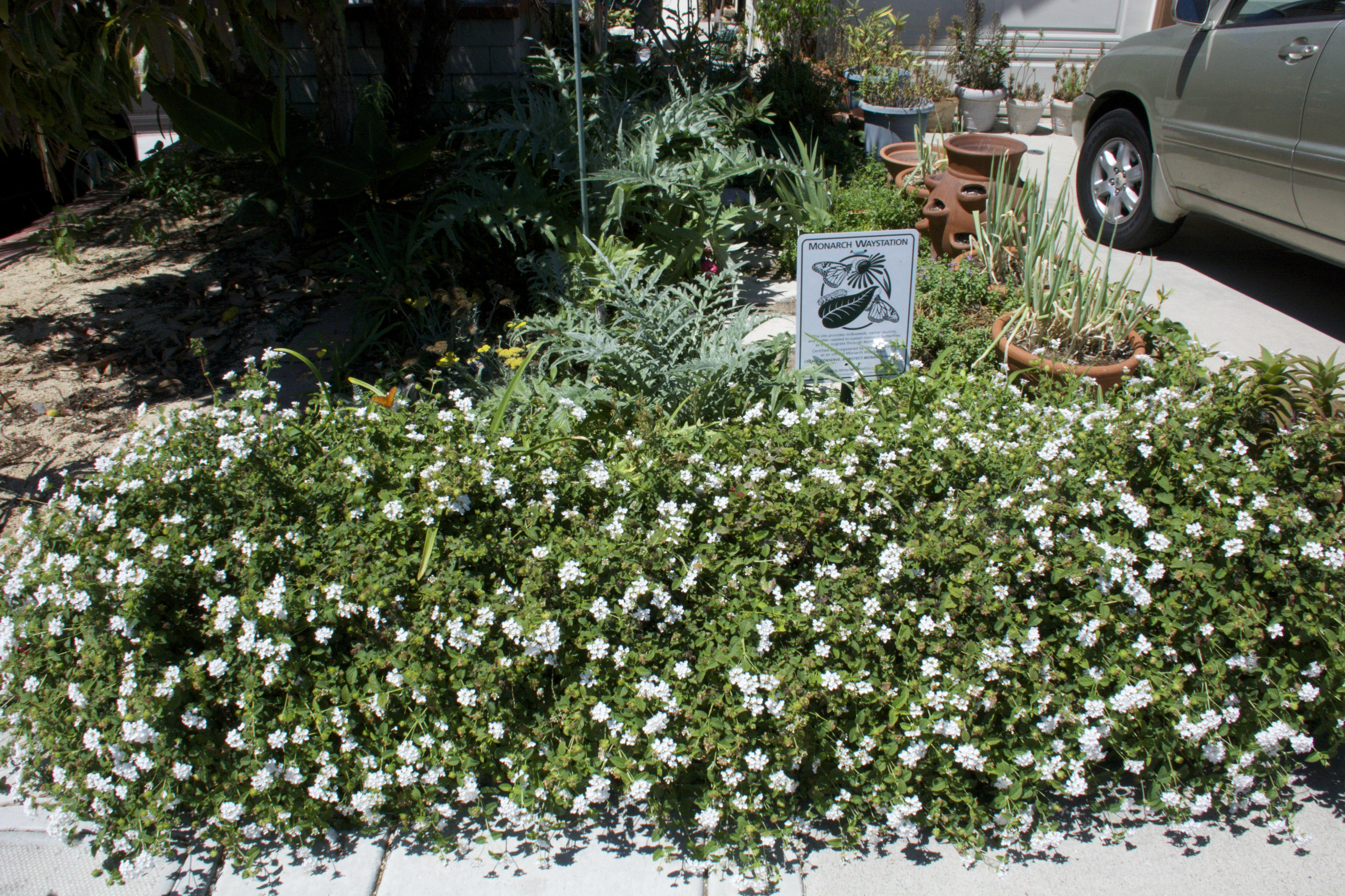 Butterfly Garden With Lantana In Front