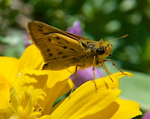 Fiery Skipper on a zinnia