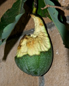 Critters are getting a lot of my produce, like this once-lovely avocado.